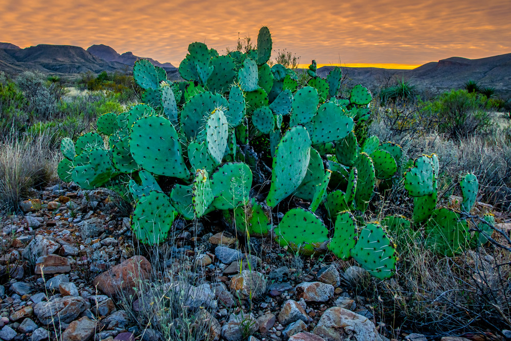 Big Bend prickly pear - Big Bend National Park photography prints