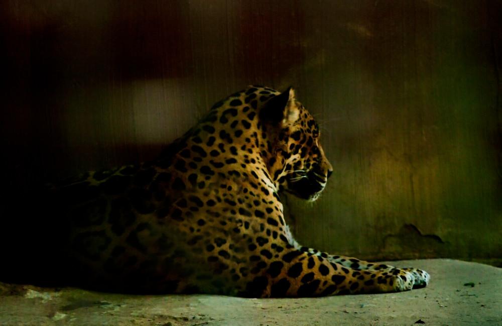Fine Art Photograph of Leopard