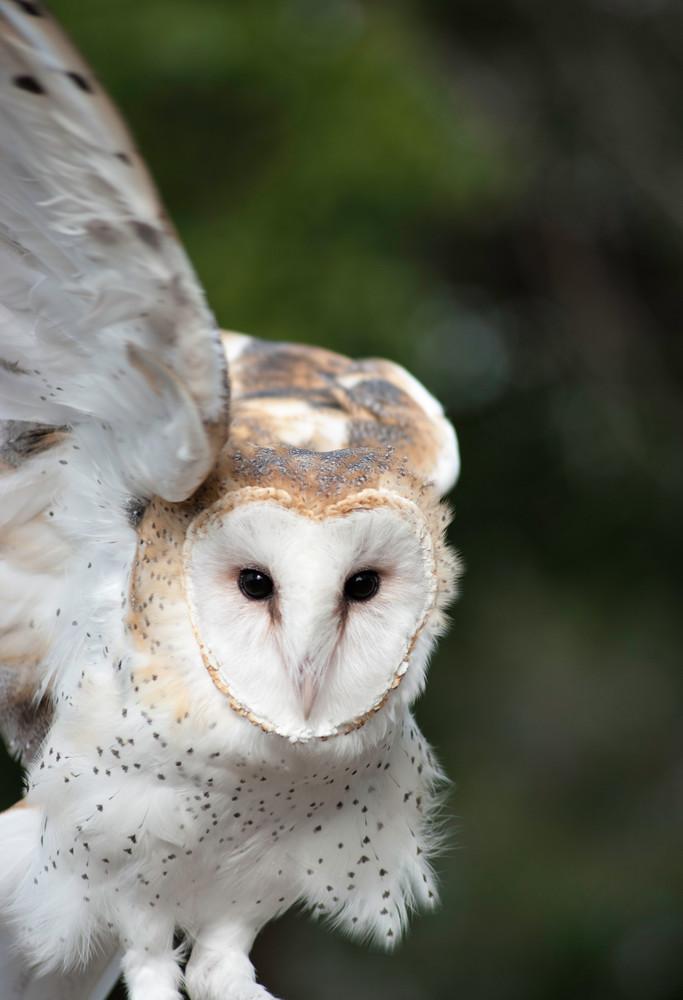 Barn Owl 2 Photography Art   Kathleen Messmer Photography