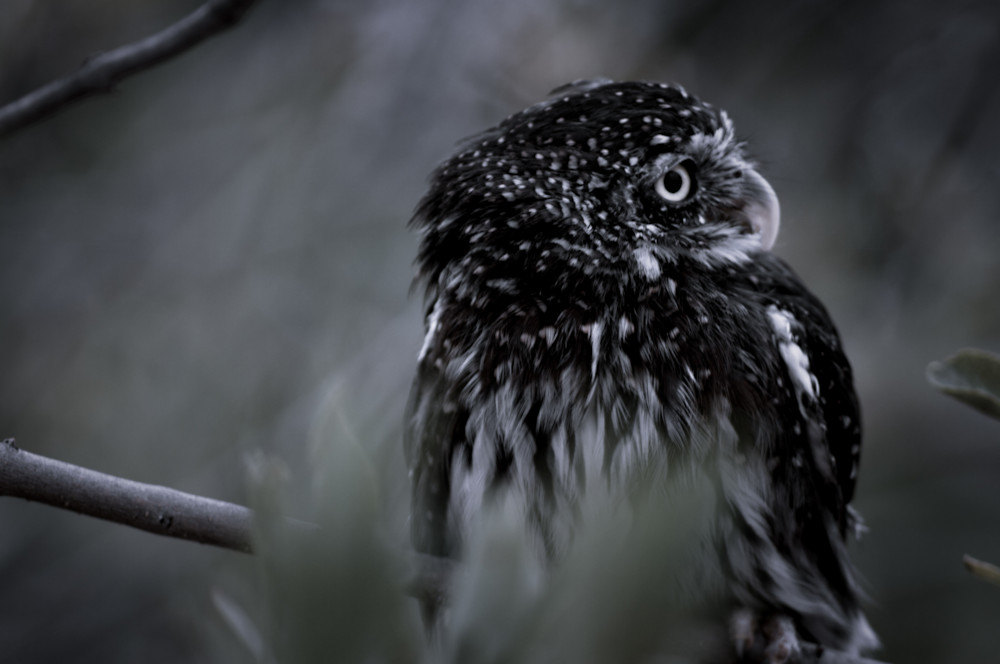 Pygmy Owl Photography Art | Kathleen Messmer Photography