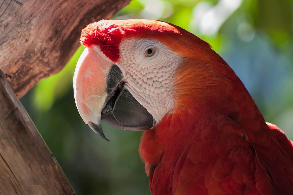 Scarlet Macaw Profile Photography Art | Kathleen Messmer Photography