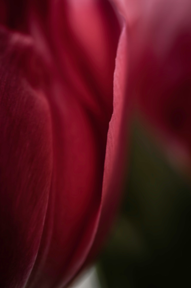 Maroon Tulip Photography Art | Kathleen Messmer Photography