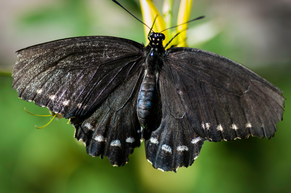Common Mime Butterfly Photography Art | Kathleen Messmer Photography
