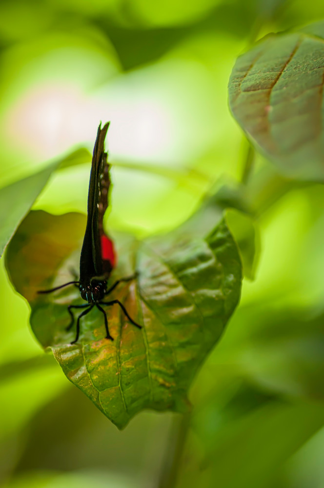 Black And Red Butterfly On Leaf Photography Art | Kathleen Messmer Photography