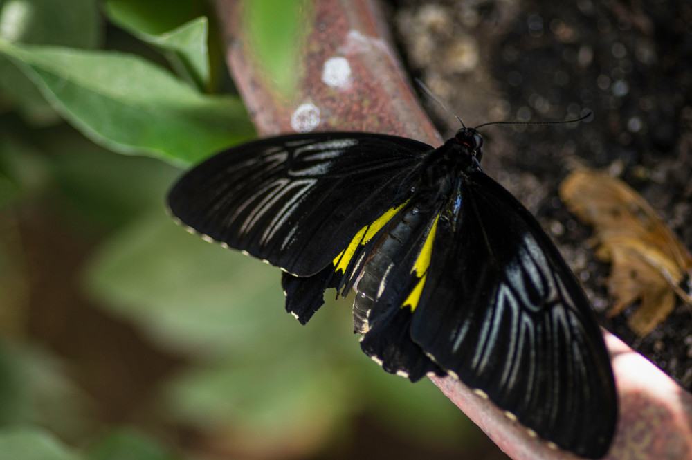 Black And Yellow Butterfly Photography Art | Kathleen Messmer Photography