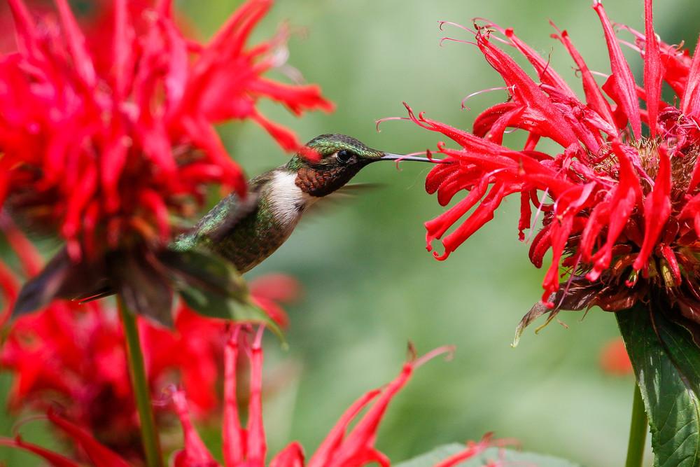 Ruby Throated Hummingbird in Bee Balm - Photography print