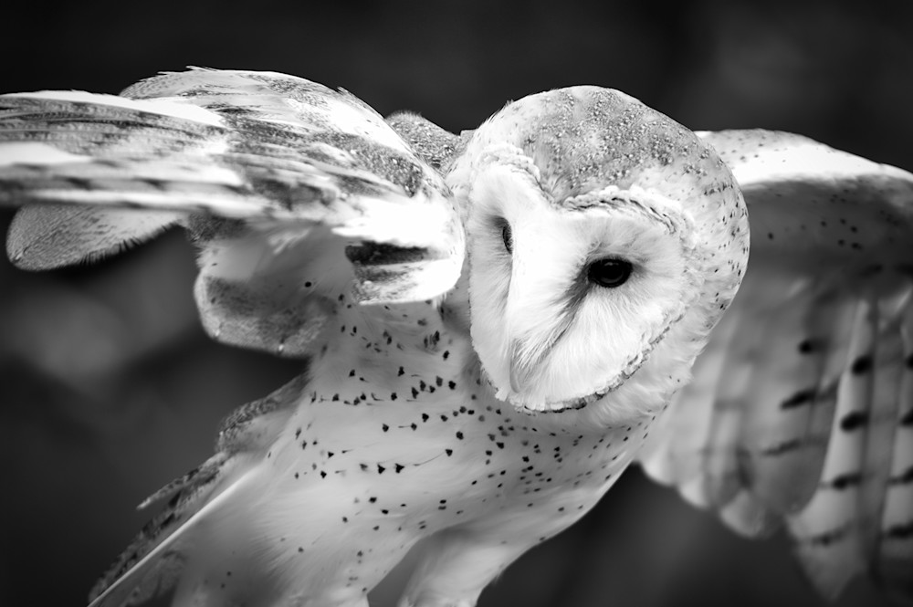 Barn Owl Photography Art | Kathleen Messmer Photography