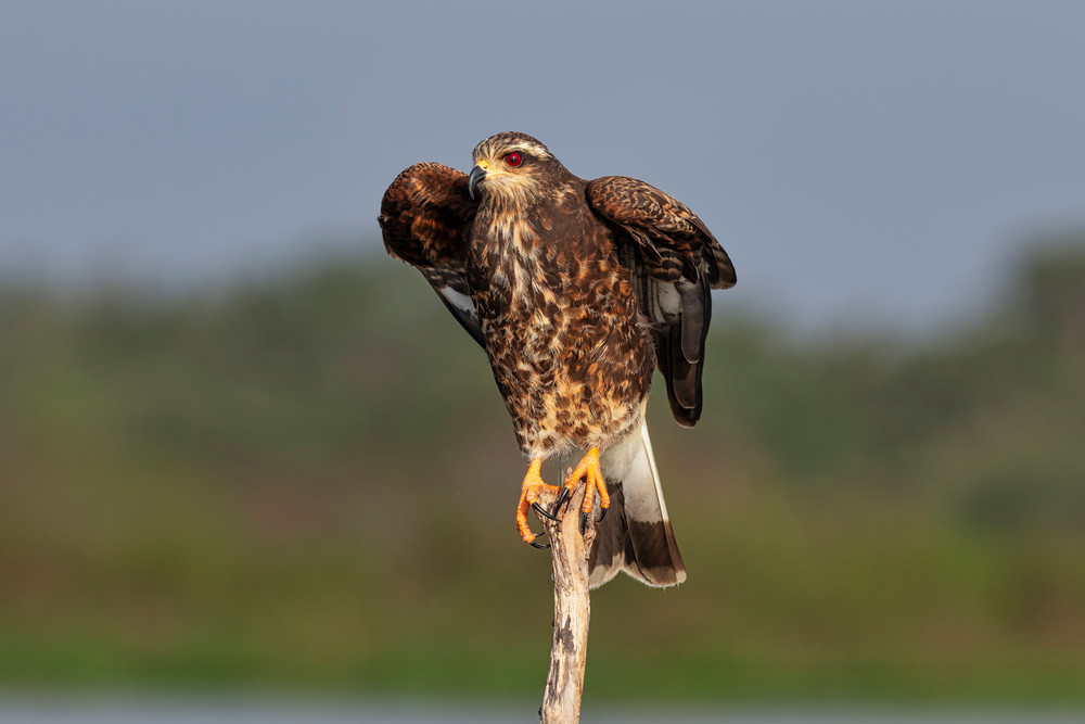 Snail kite ready to take flight - wildlife photography prints