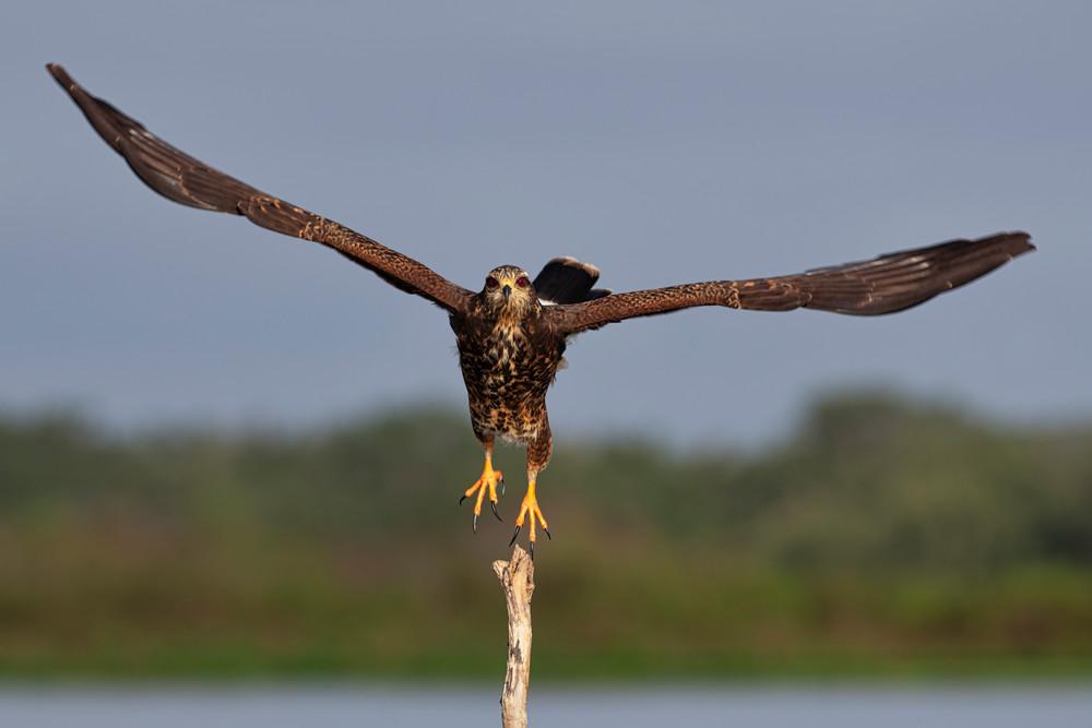 Snail kite taking flight - fine-art wildlife photography prints