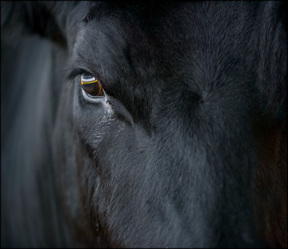 Direct Gaze of a Black Angus Bull