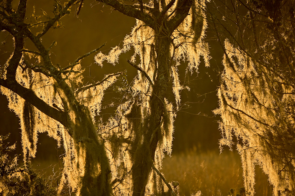 Spanish Moss at Golden Hour