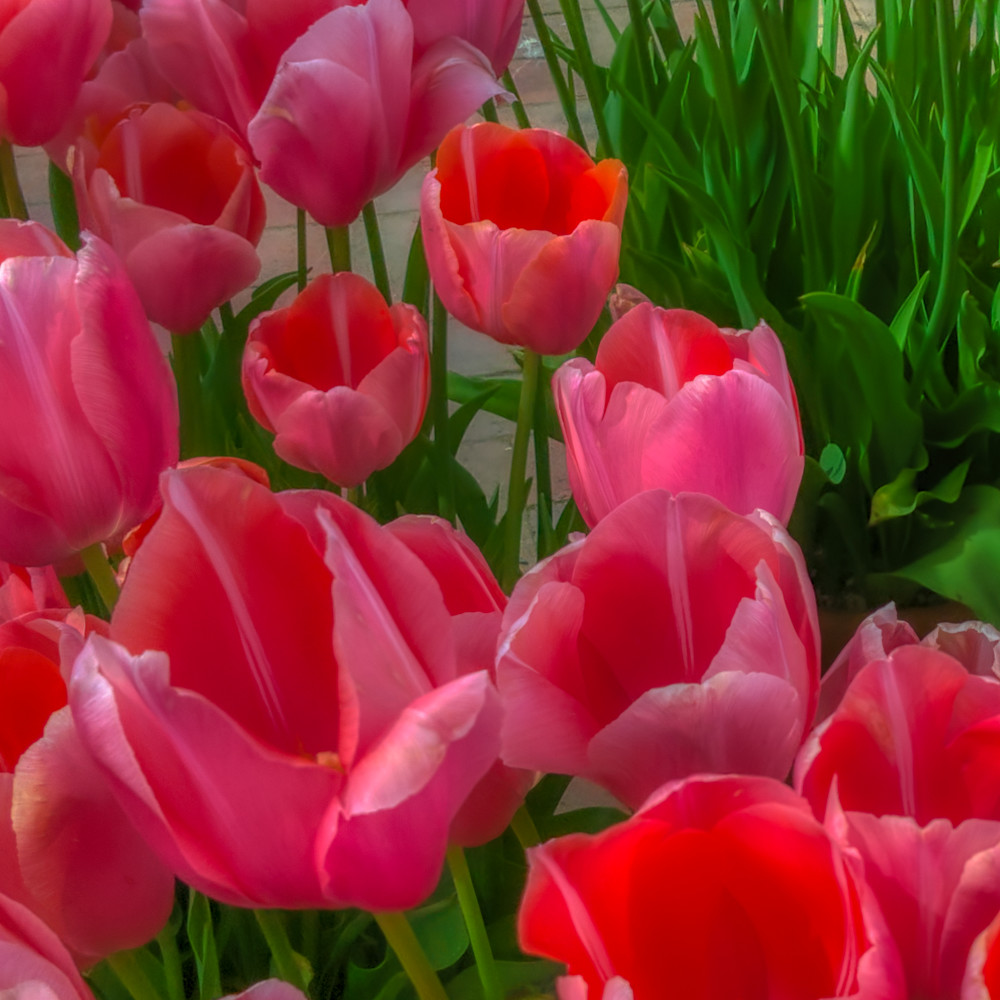 Tulips Photography Art | FocusPro Services, Inc.