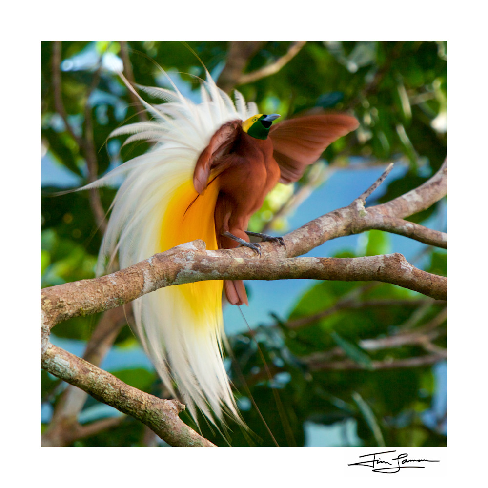 Lesser Bird-of-Paradise displaying in the rainforest canopy.