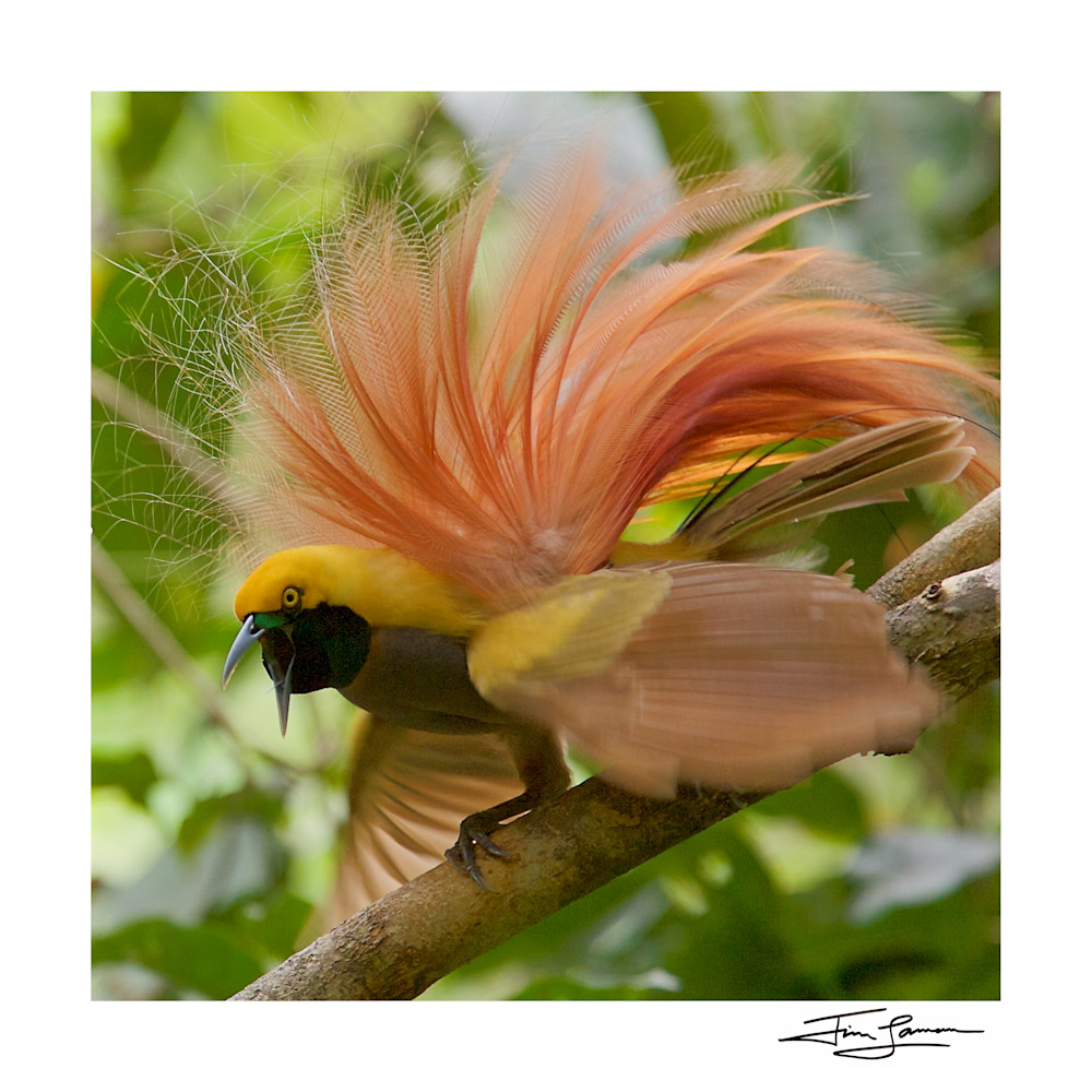 Goldie's Bird of Paradise (Paradisaea decora) male in display available for sale as a photographic print.