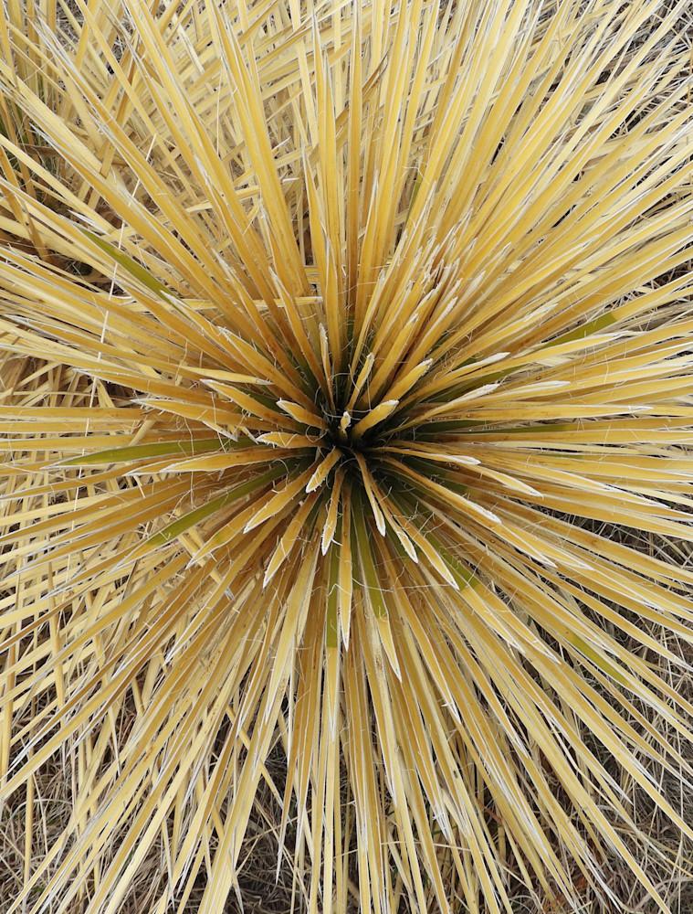 Golden Yucca Photography Art | Galeria Mañana