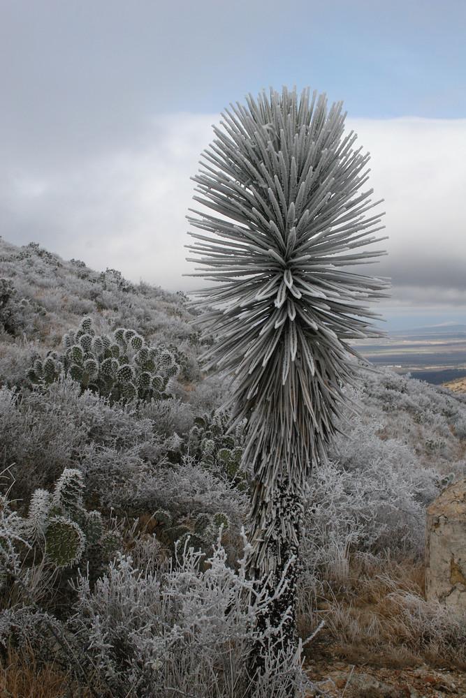 Ice Fog Yucca (Yucca Con Neblina) Photography Art | Galeria Mañana