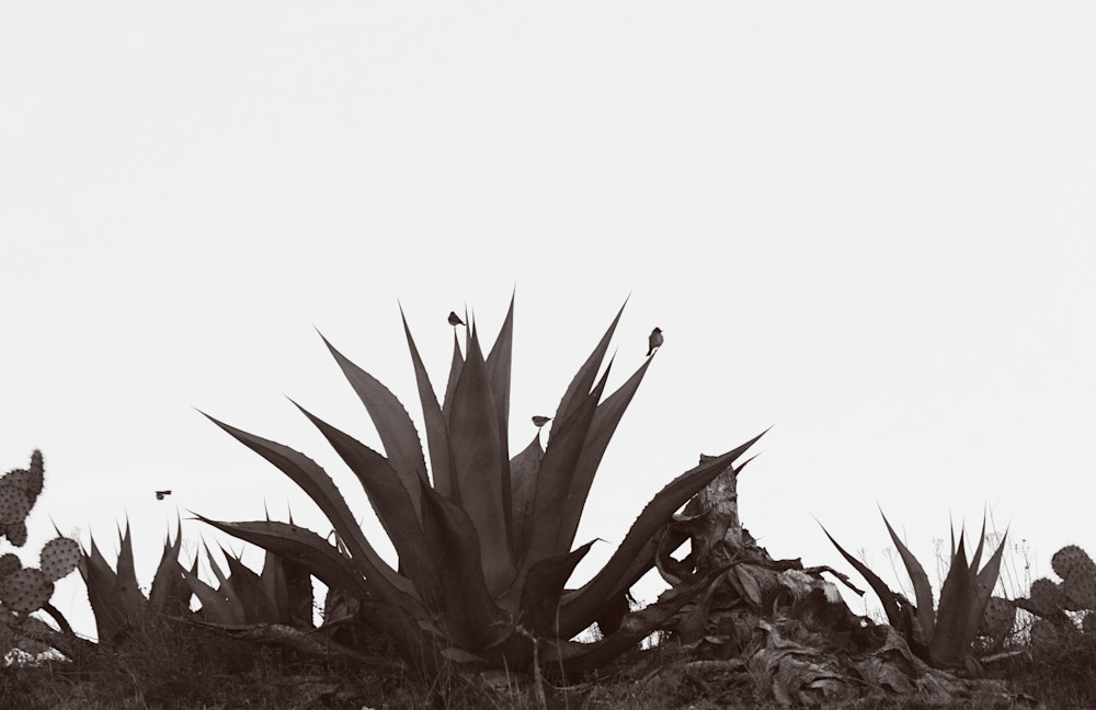 Birds On Maguey Photography Art | Galeria Mañana