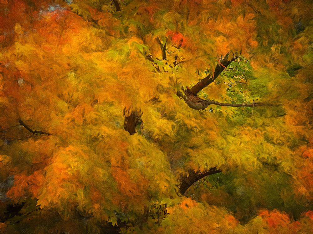 Maple Frenzy By Mike Caplan