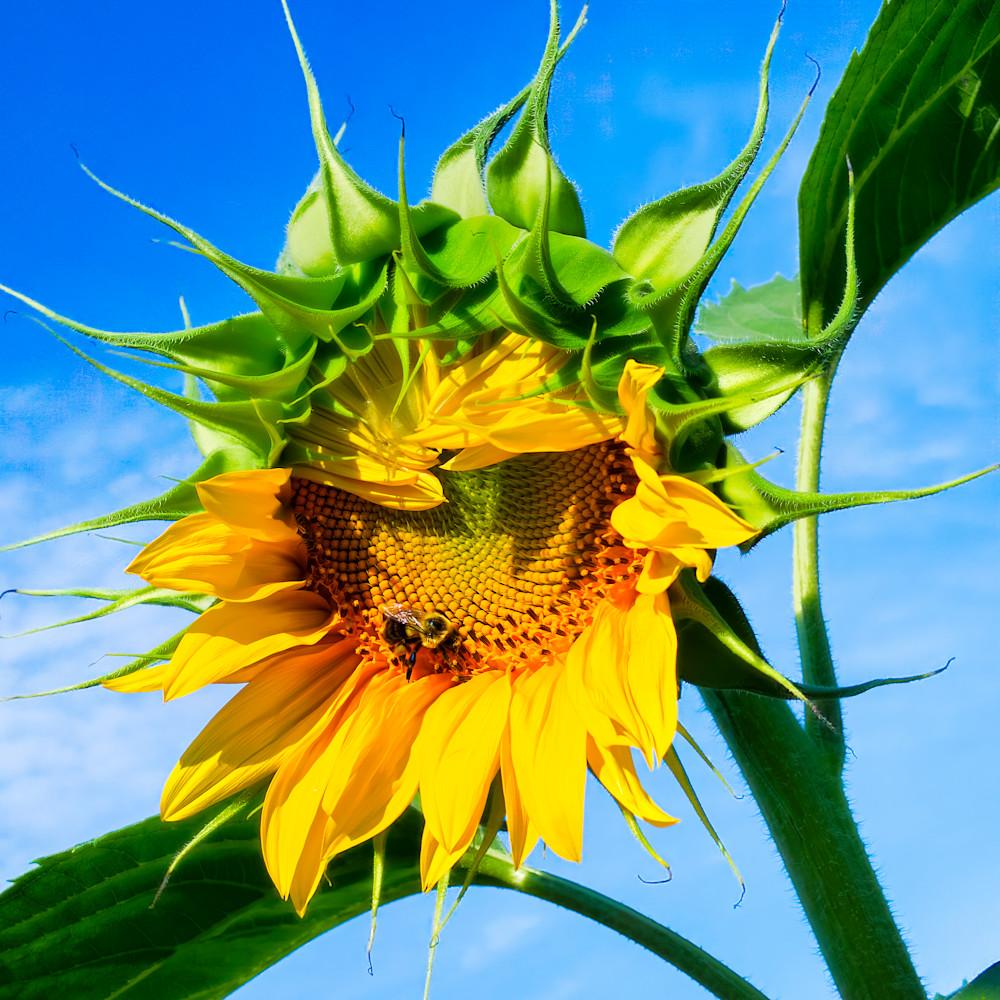 Sunflower Series04 Photography Art   Mark Steele Photography Inc