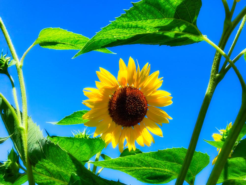 Sunflower Series08 Photography Art | Mark Steele Photography Inc