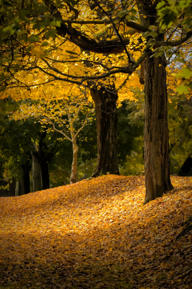 Autumn Leaves, golden color, Massachussettes
