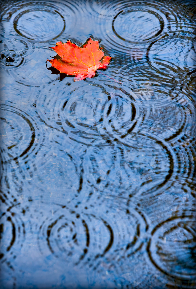 Red Leaf Floating in Pond with Gentle Rain, Maine Autumn