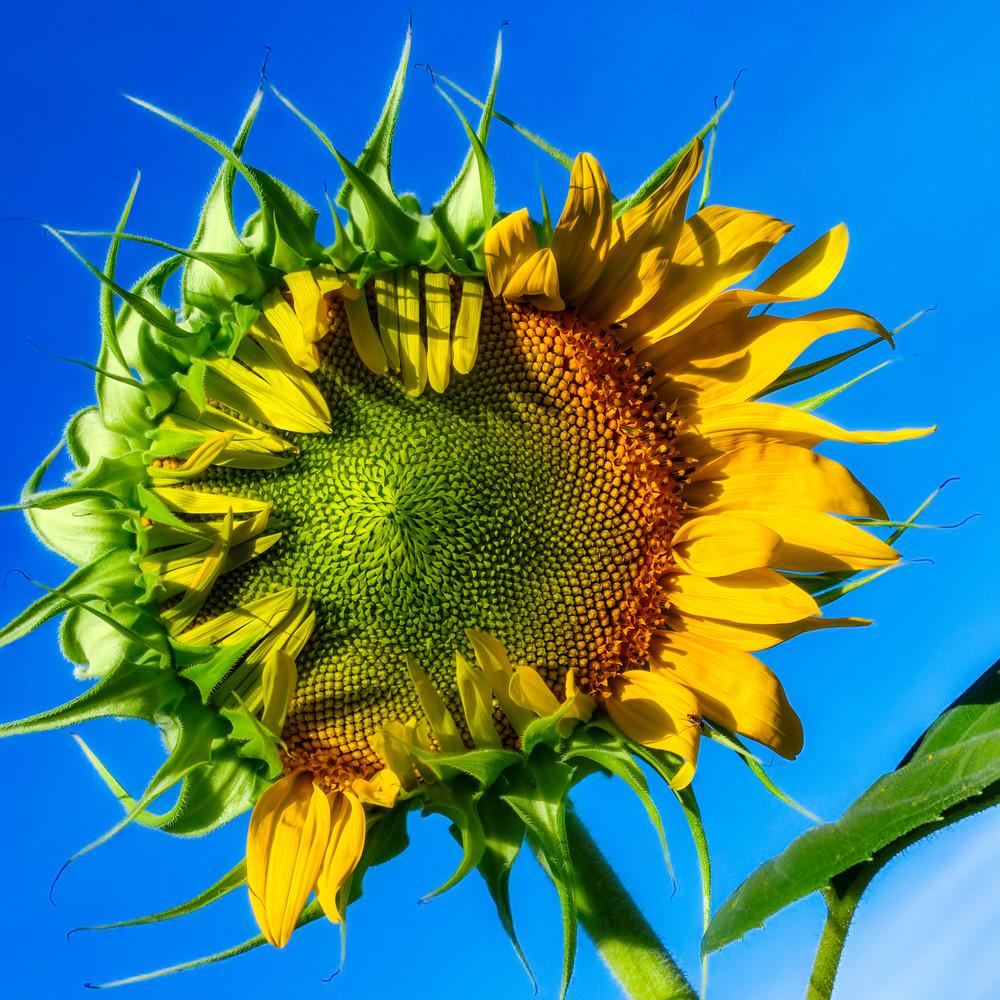 Sunflower Series 01 Photography Art   Mark Steele Photography Inc