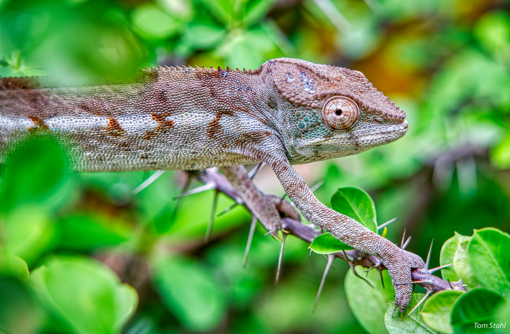 Chameleon among thorns, Ankarana National Park.