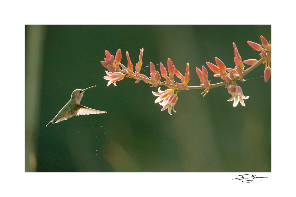 Costa's hummingbird at flowers photograph available as wall art.
