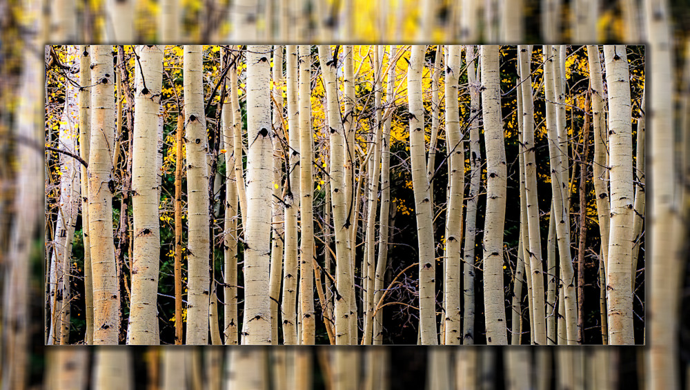 Aspen Trees Fall Lines Pano 3 D Photography Art | Whispering Impressions