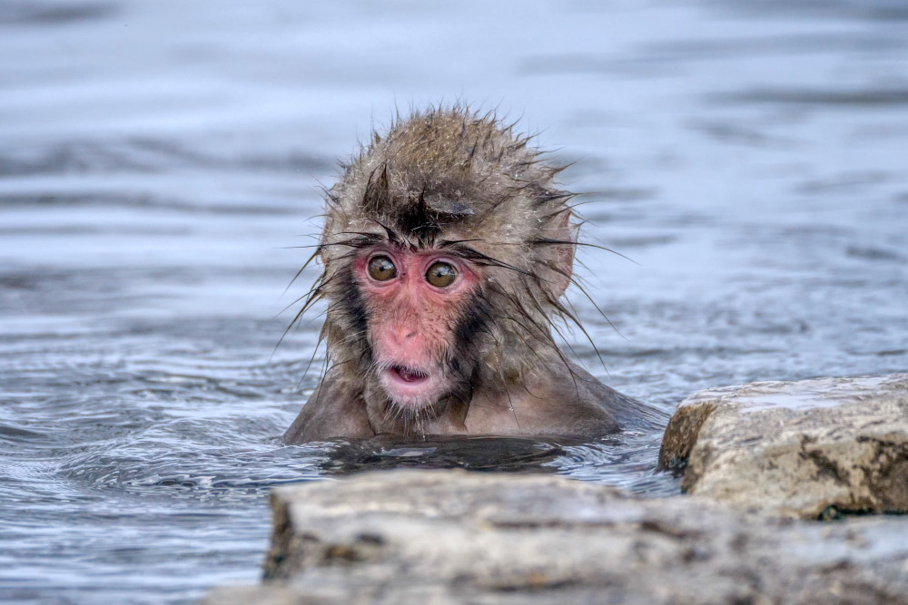 Surprised Snow Monkey Photography Art | Peter Batty Photography