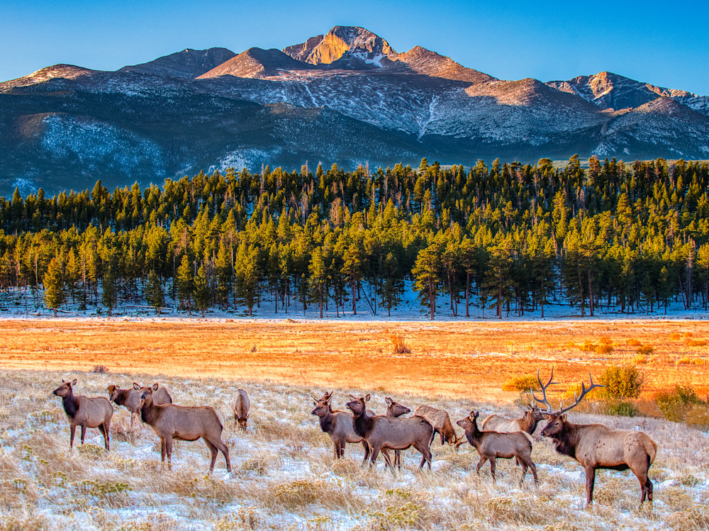Elk In Front Of Long's Peak Photography Art | Peter Batty Photography