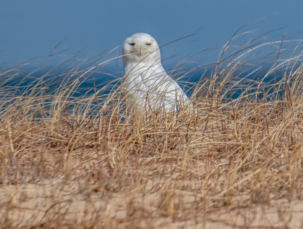 Chappy Snowy Owl 2020 Art | Michael Blanchard Inspirational Photography - Crossroads Gallery