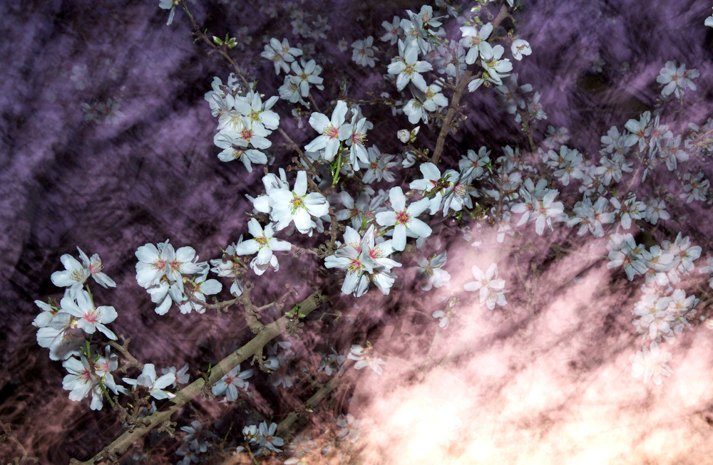 ALMOND BLOSSOM GALAXY