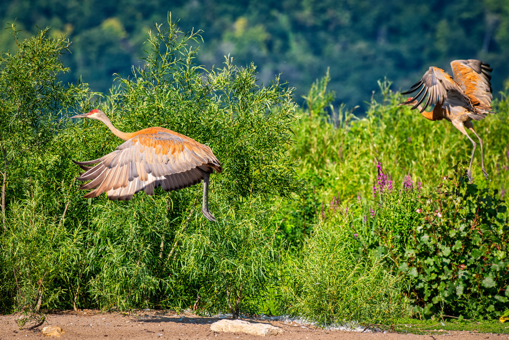 Sandhill cranes taking flight - bird fine-art photography prints
