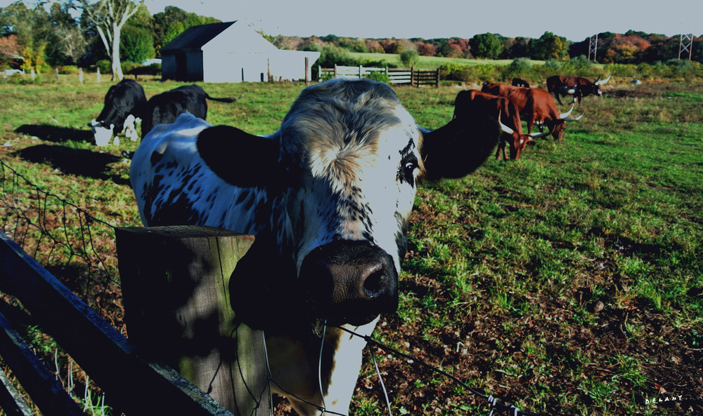 Spring Cow New Grass Photo Print