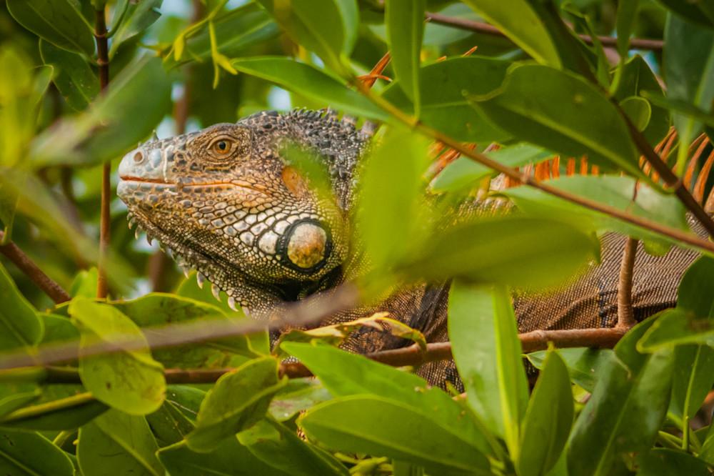 Iguana Photography Art | Monteux Gallery