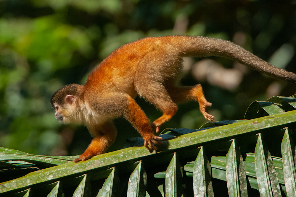 Squirrel Monkey Photography Art   Monteux Gallery