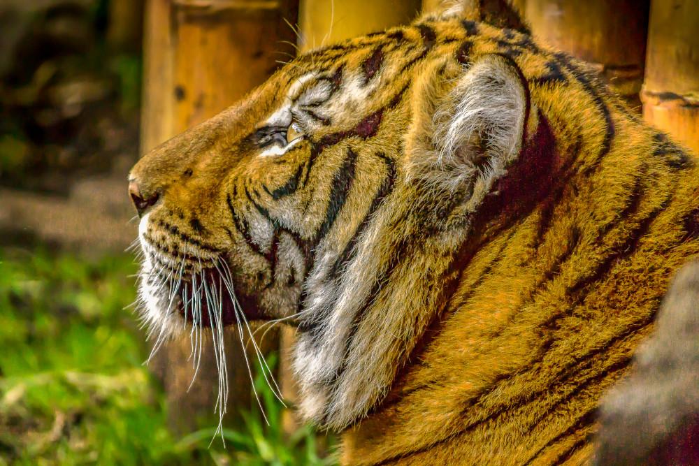 Tiger Prayer Photography Art   jimhooverphoto