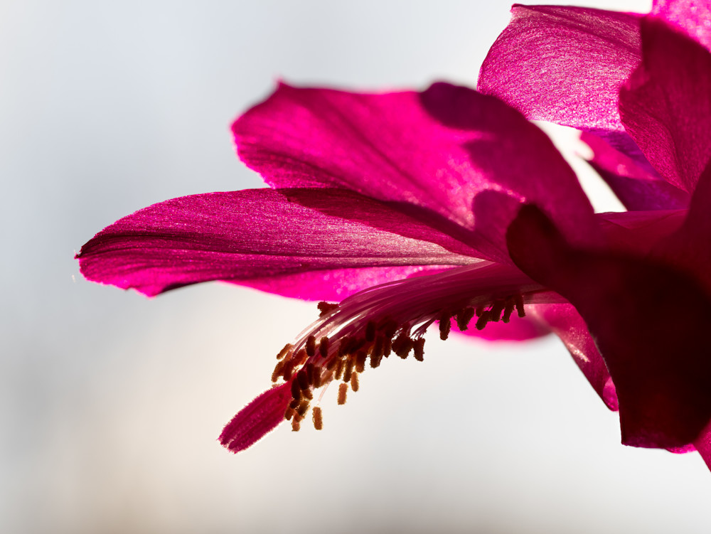 Christmas cactus flower - shop fine art prints | Closer Views