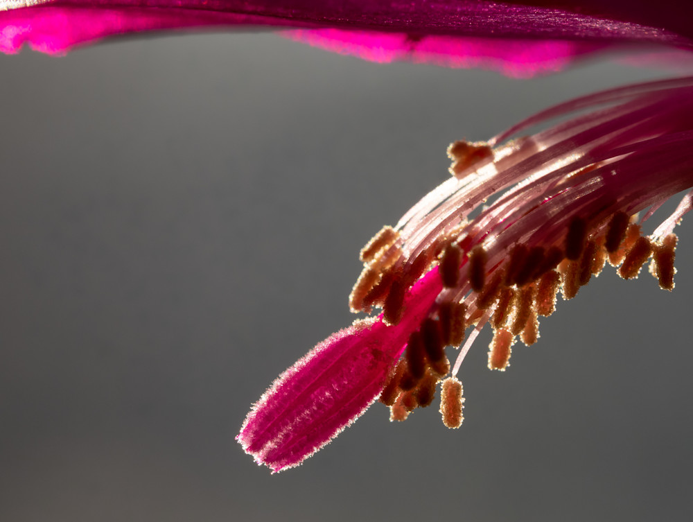 Christmas cactus macro - shop fine art prints | Closer Views