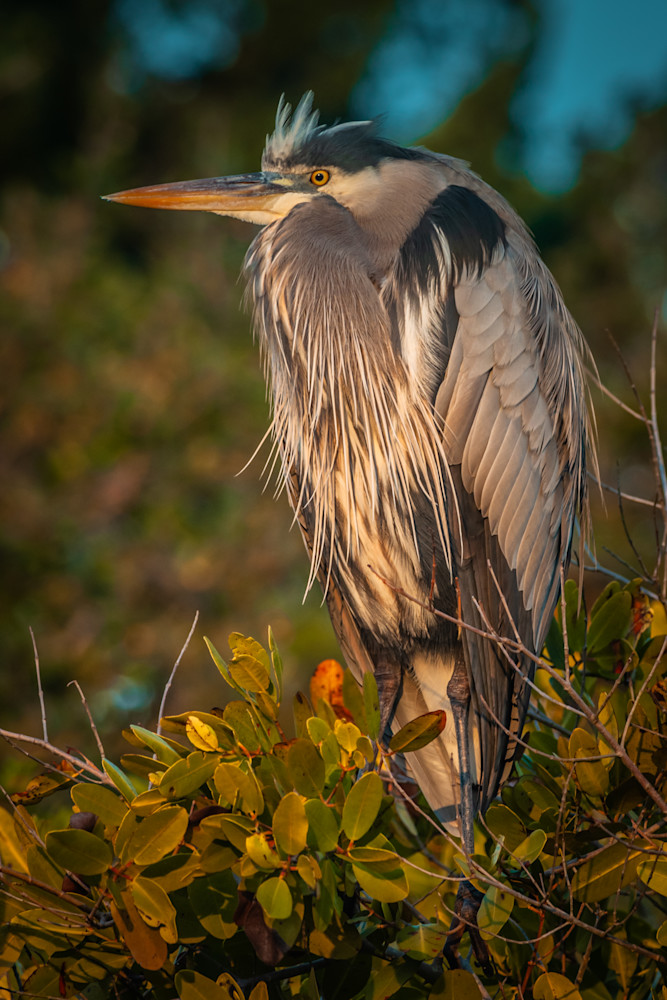 Great Blue Heron Photography Art | Monteux Gallery