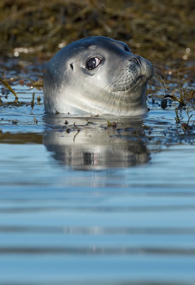 Harbor Seal with an Attitude