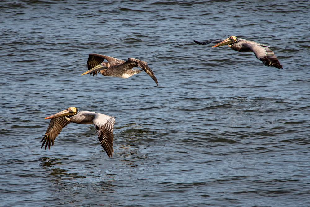 Flying in formation - Brown pelican fine-art photography prints
