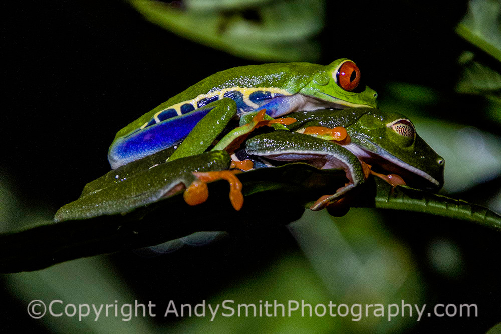 Red-eyed Leaf Frogs mating