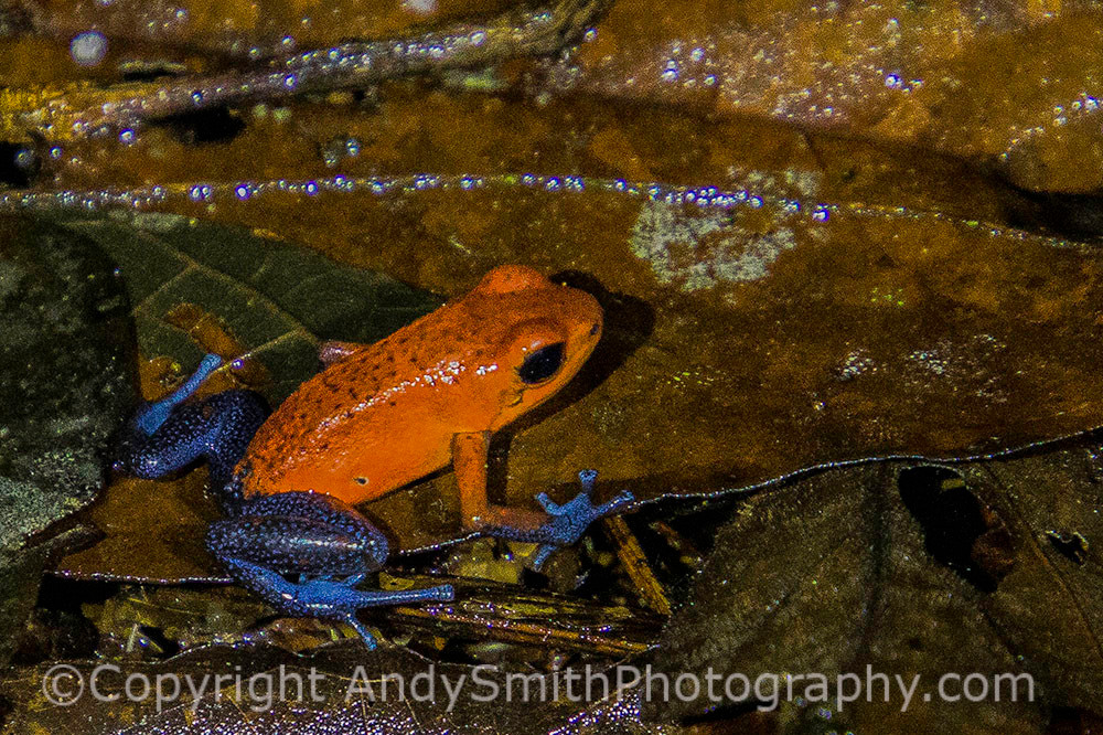 "Strawberry Poison Dart Frog, ""Blue Jeans Frog"""