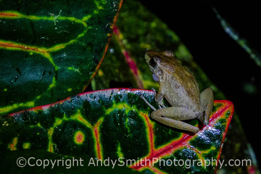 fine art photograph of Mexican Tree Frog, Smilsca baudini