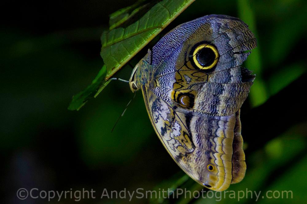 fine art photogrpah of Pale Owl Butterfly, Caligo telamonius
