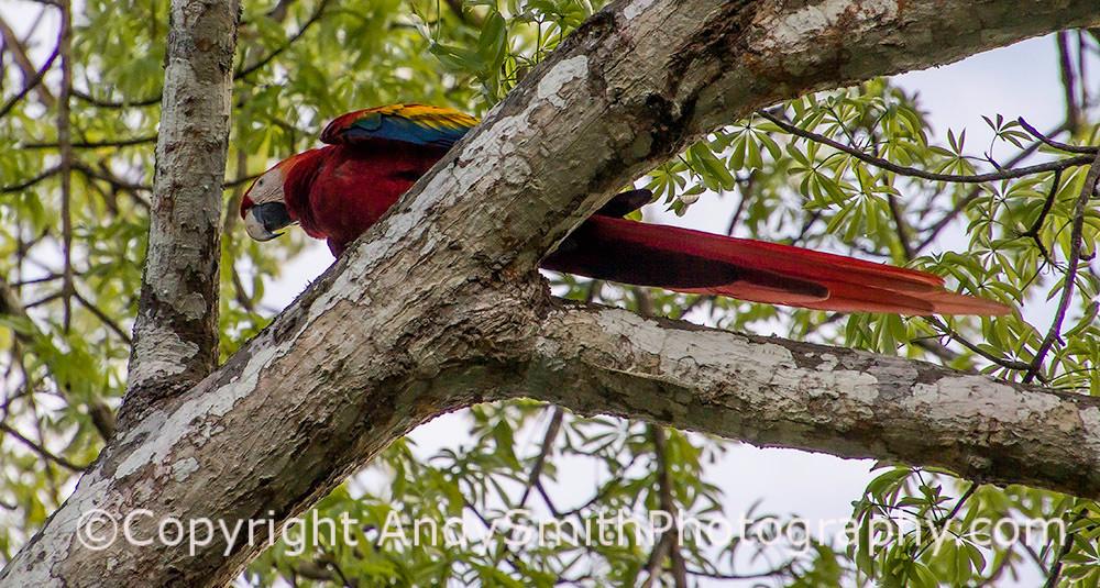 Scarlet Macaw, Ara macao, resting