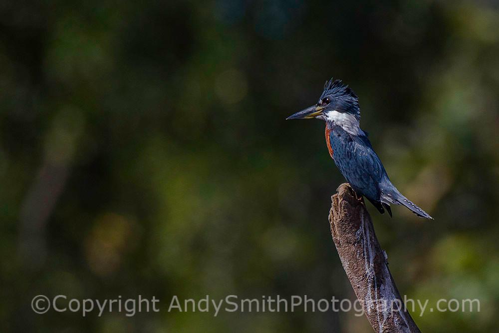 Ringed Kingfisher, Megaceryle torquata,
